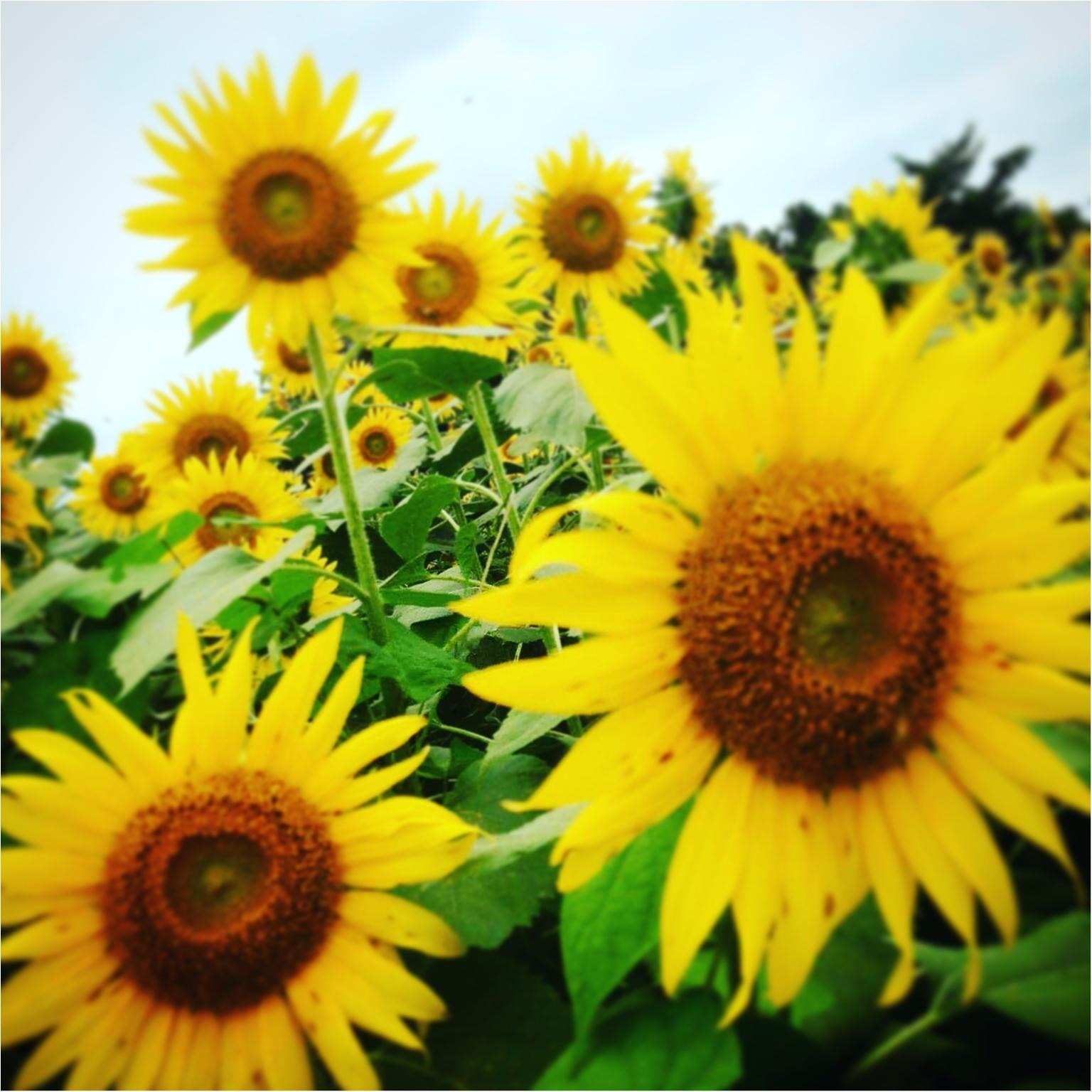 【今が見頃】ひまわり畑で、夏の思い出を残そう(∩´∀`∩)_2