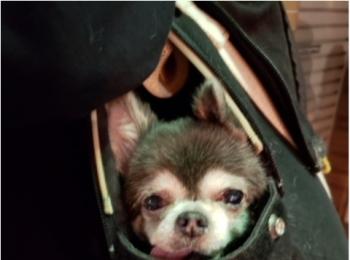 【今日のわんこ】カバンの中にすっぽり! おでかけろろんちゃん♡