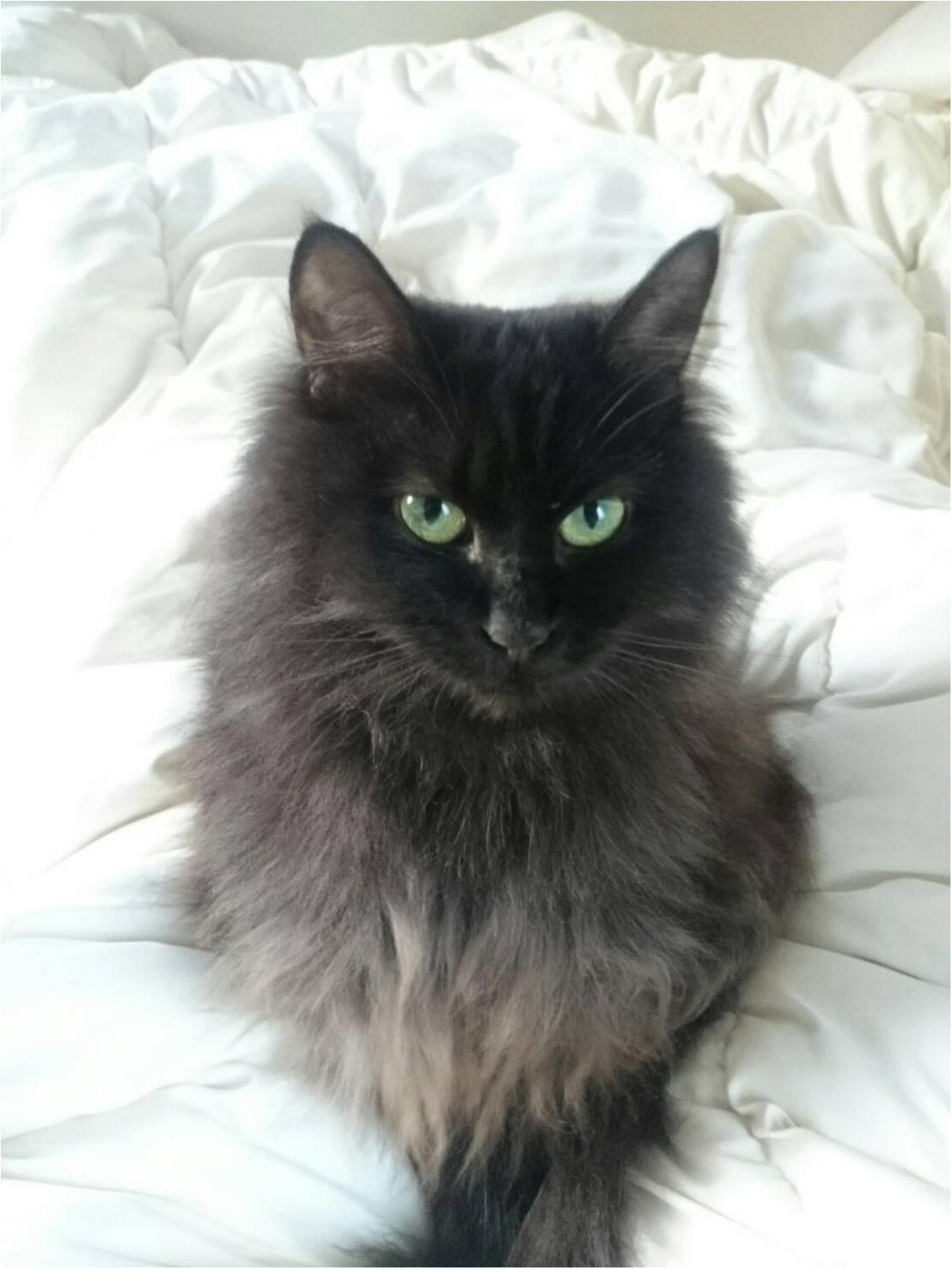 【今日のにゃんこ】わんこには負けないにゃ! 美猫すぎるゆらちゃんから新年のご挨拶♡_1