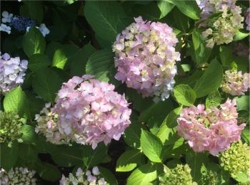 紫陽花が見頃な季節です!八景島であじさい祭り開催中♡