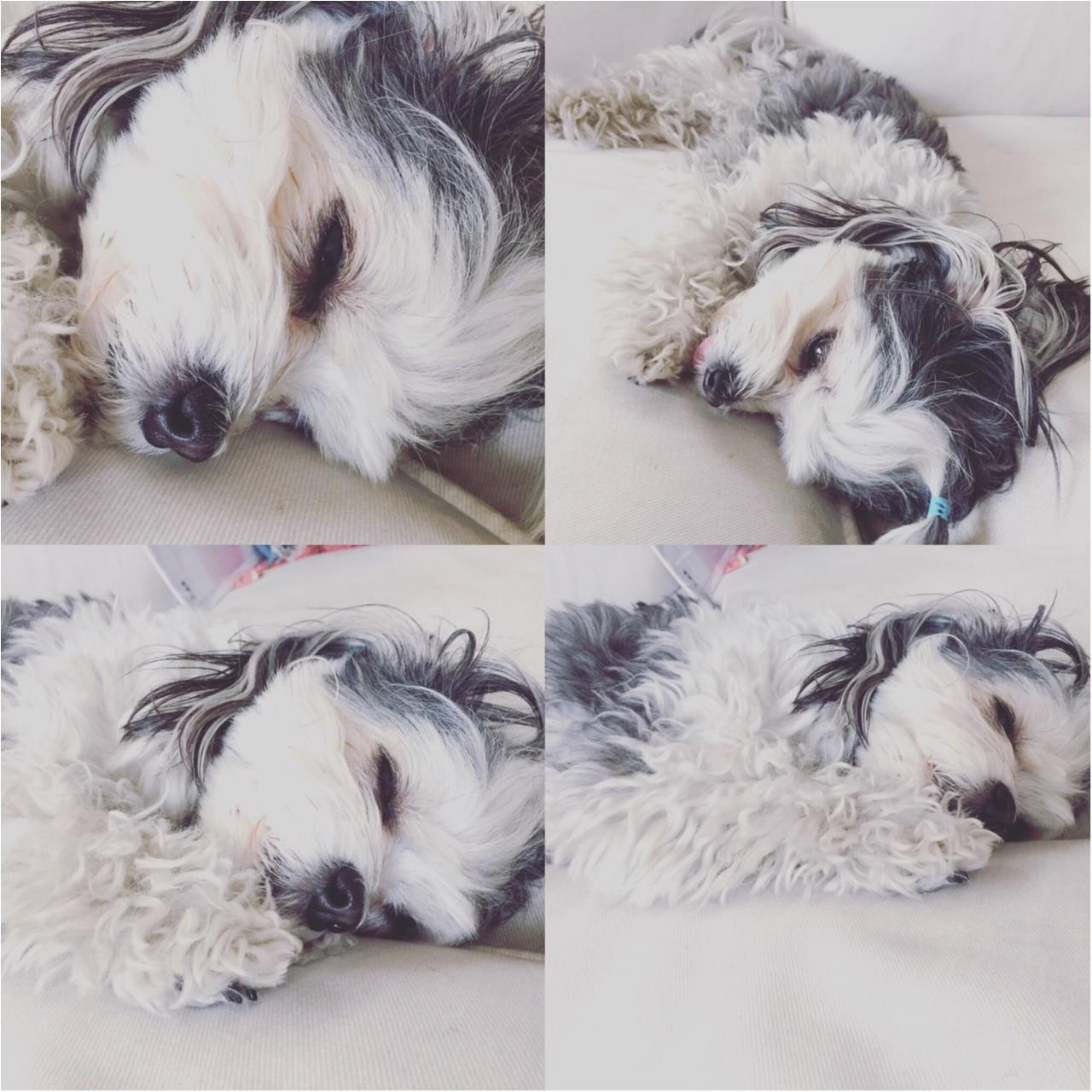 【今日のわんこ】涼しくなったから? 眠くて仕方ない太郎くん_1