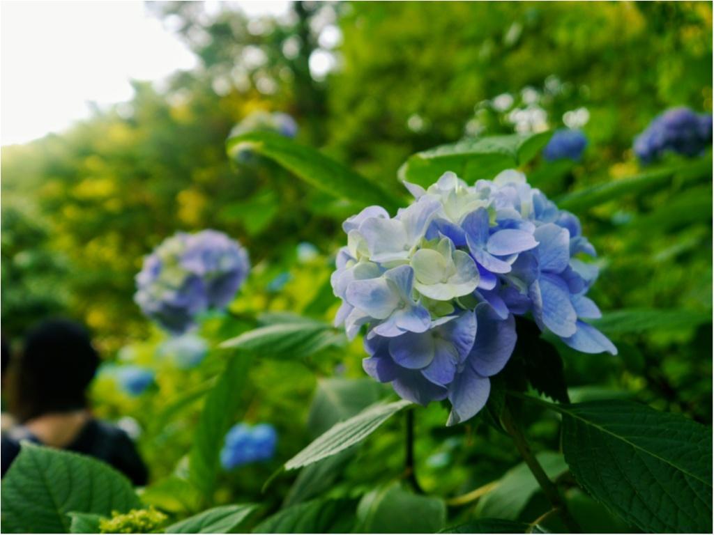 """まだ間に合うかも!?【鎌倉】の """" 紫陽花 """" を観て、心をリフレッシュしてみてはいかがでしょうか?_8"""