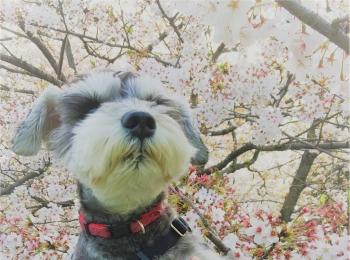 【今日のわんこ】くんくん♪ 桜の香りを楽しんだサクラちゃん