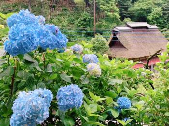 東京都内近郊で楽しめるあじさいスポット☆ 【 #TOKYOPANDA のご当地モア・東京編】