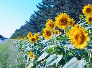 【#ひまわり畑 #秋田県】大潟村ひまわりロード♡と日本一低い山♫