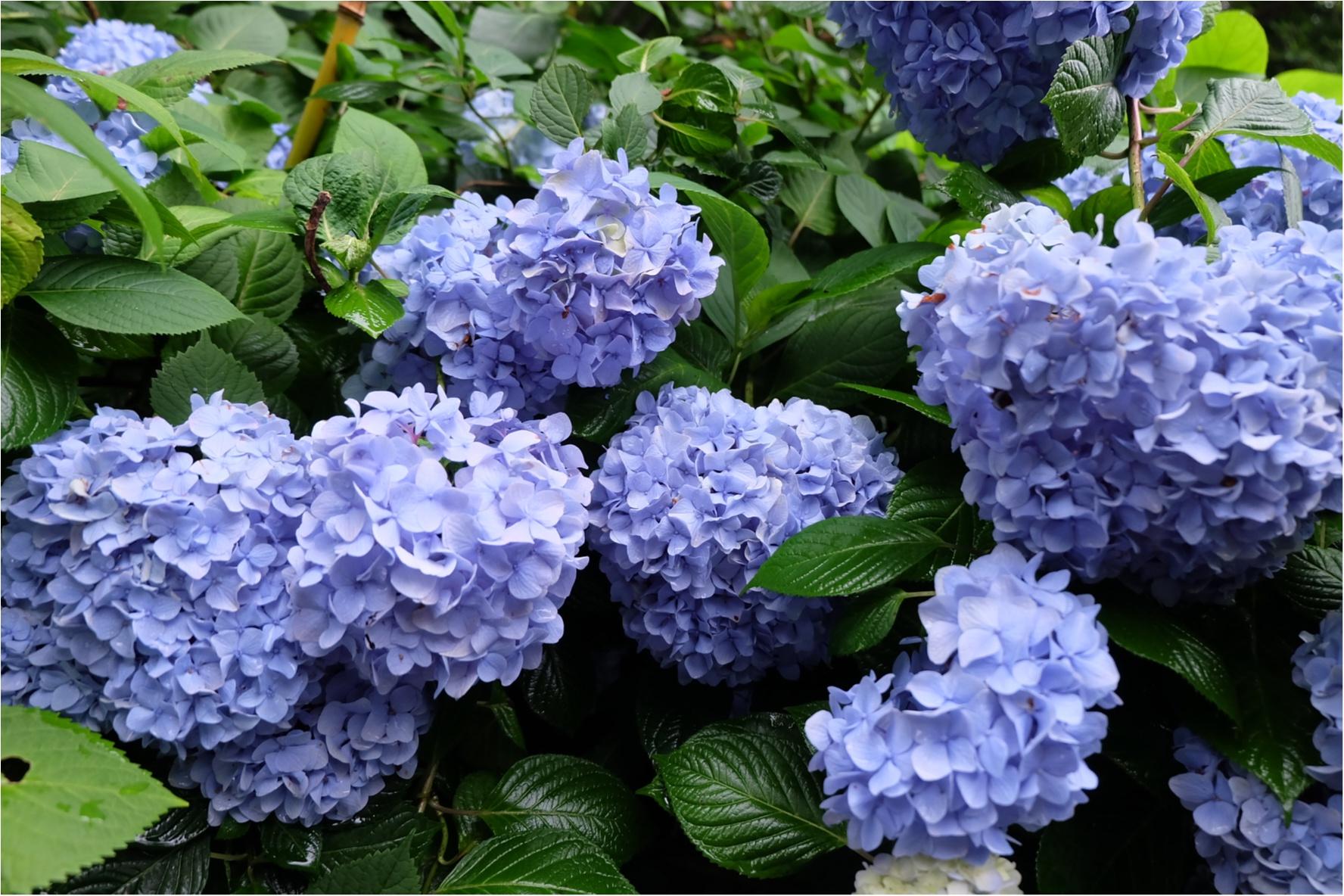 今だから見れる!鎌倉の紫陽花で映える写真を撮ろう♡混雑を避けるには?_2