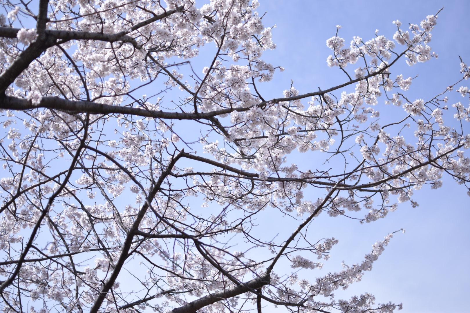 【名古屋】名古屋城でお花見!!名古屋城春まつり【桜】_3