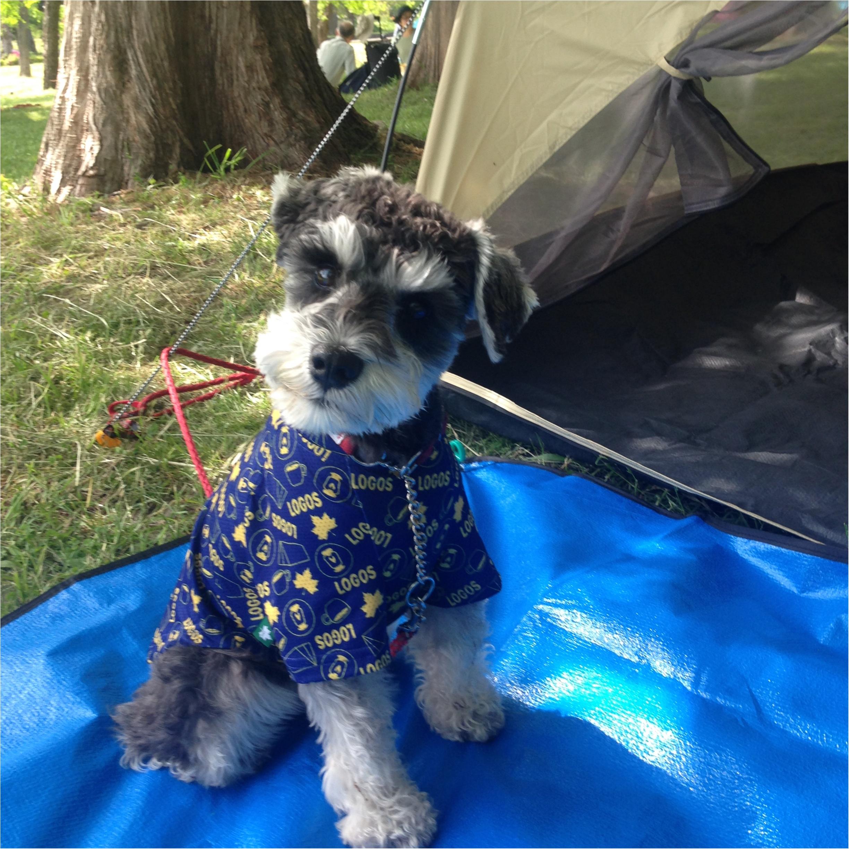 【今日のわんこ】楽しすぎる♡ サクラちゃんはキャンプに夢中!_1