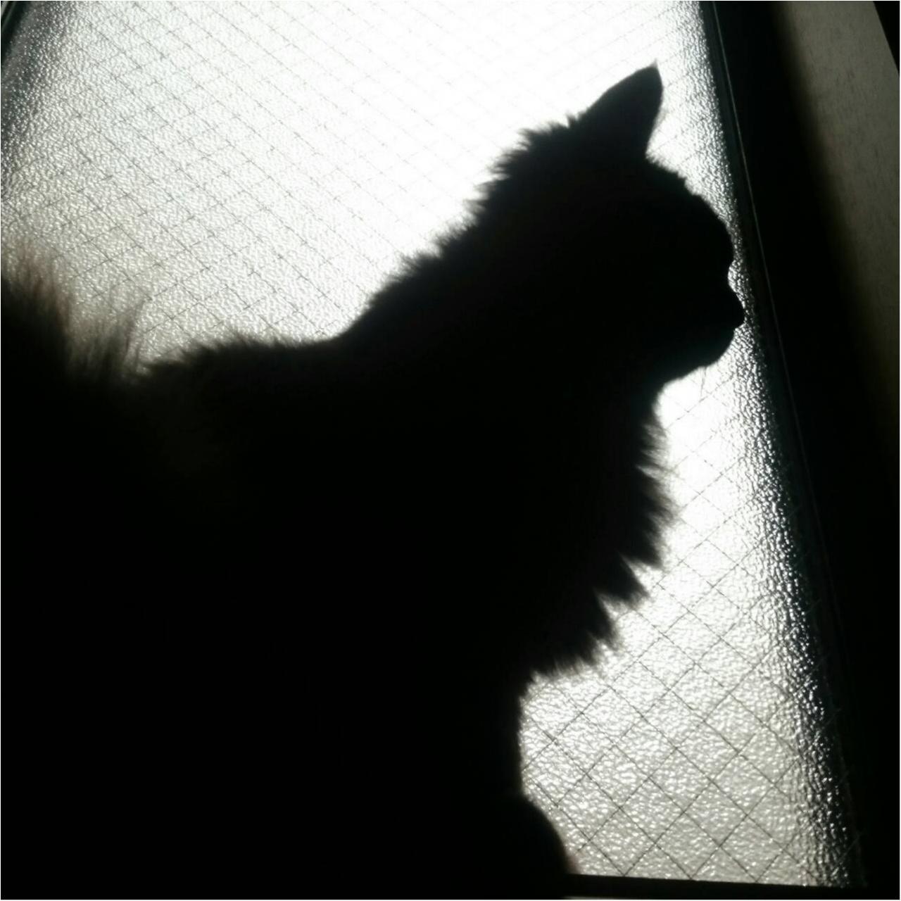 【今日のにゃんこ】美猫でしょ? ゆらちゃんのシルエット♡_1