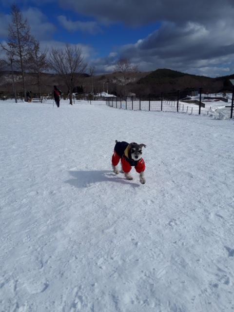【今日のわんこ】雪山に慣れて楽しむサクラちゃん♪_1