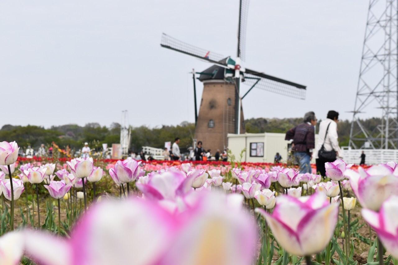 青空とチューリップ♡オランダ風車がシンボルの佐倉ふるさと広場へ!_1