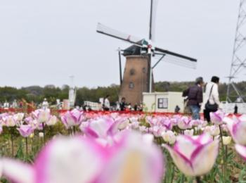 青空とチューリップ♡オランダ風車がシンボルの佐倉ふるさと広場へ!