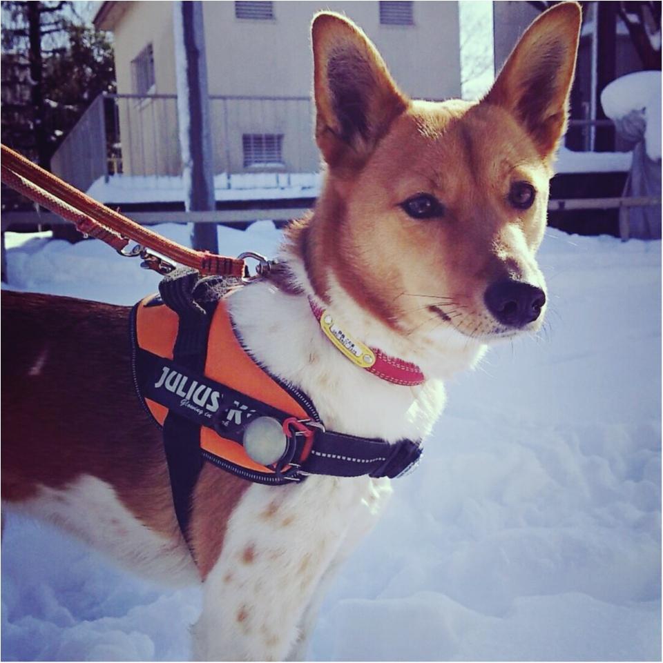 【今日のわんこ】さむさむ~! 雪の日にお散歩に出かけたこだまちゃん_1