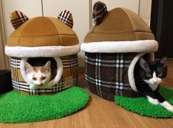【今日のにゃんこ】ラビくんをマネして猫ハウスに入る、幼き日のルウくん