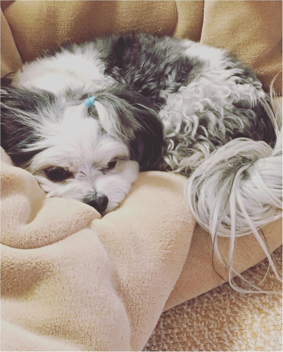 【今日のわんこ】ぬくぬく♡ 太郎くんはふわふわ毛布でおねんね_1