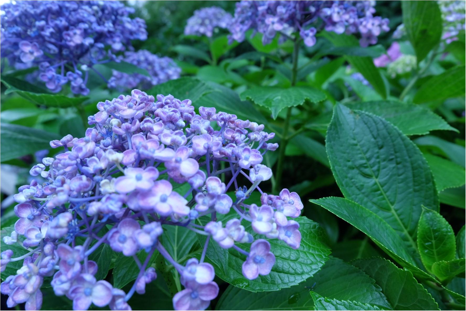 今だから見れる!鎌倉の紫陽花で映える写真を撮ろう♡混雑を避けるには?_4