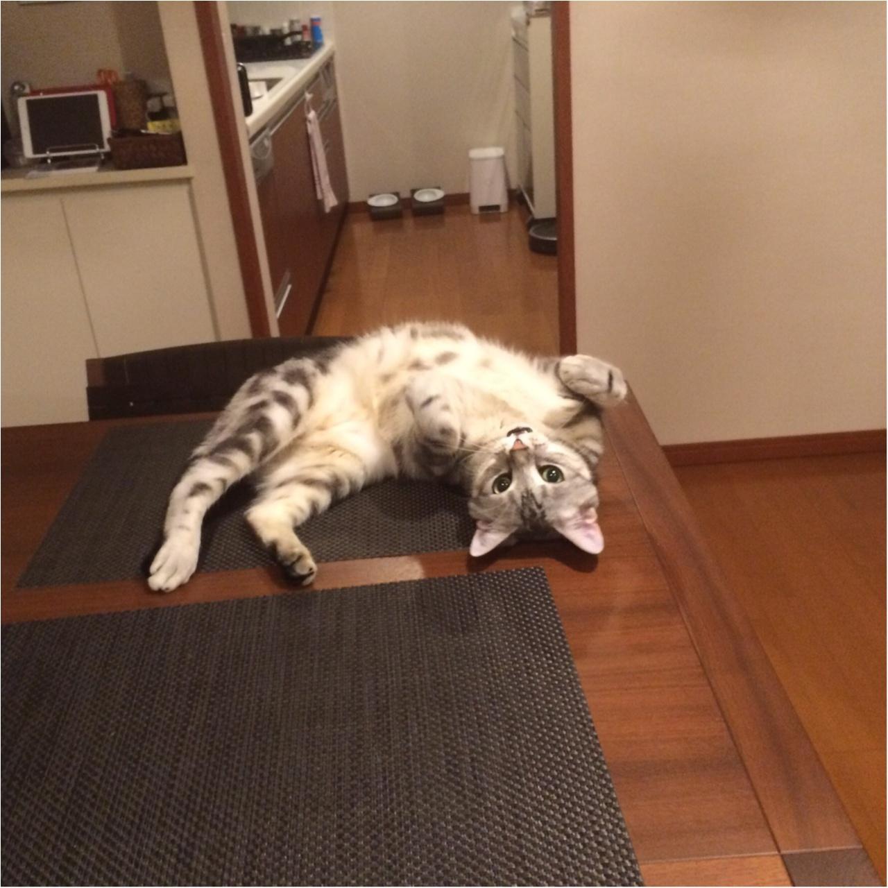 【今日のにゃんこ】ごろりん~! アランくんがテーブルでごろごろしてる理由って?_1