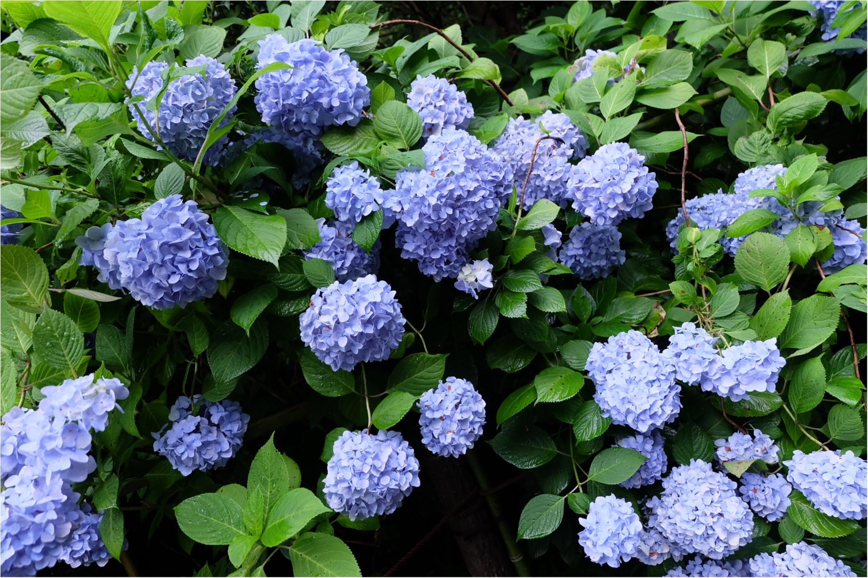 今だから見れる!鎌倉の紫陽花で映える写真を撮ろう♡混雑を避けるには?_1