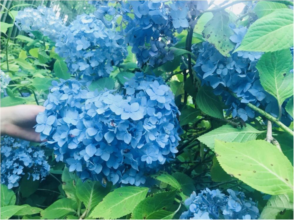 《 鎌倉 》へは今行くのがおすすめ!紫陽花が見頃です ♡_3