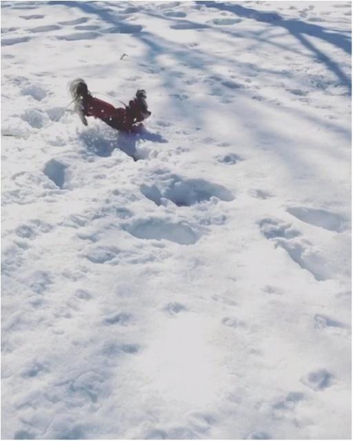【今日のわんこ】雪って面白い! 太郎くんは大はしゃぎ_1
