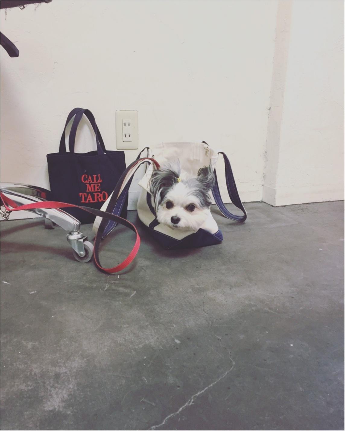 【今日のわんこ】すっぽり♡ 太郎くんはバッグの中で待機♪_1