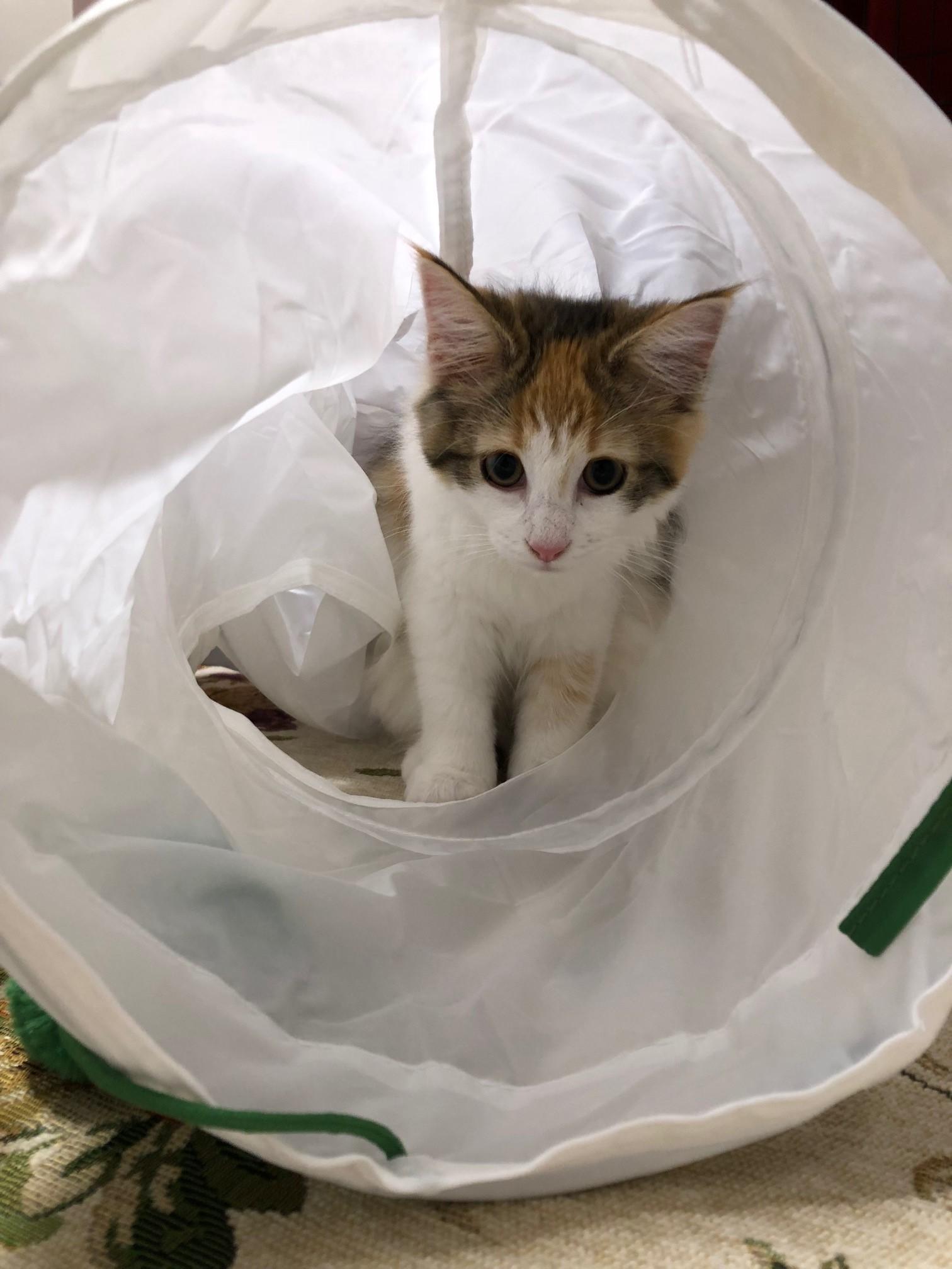 【今日のにゃんこ】『IKEA』で買ったトンネルで遊ぶ万里ちゃん♡_1