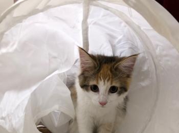 【今日のにゃんこ】『IKEA』で買ったトンネルで遊ぶ万里ちゃん♡