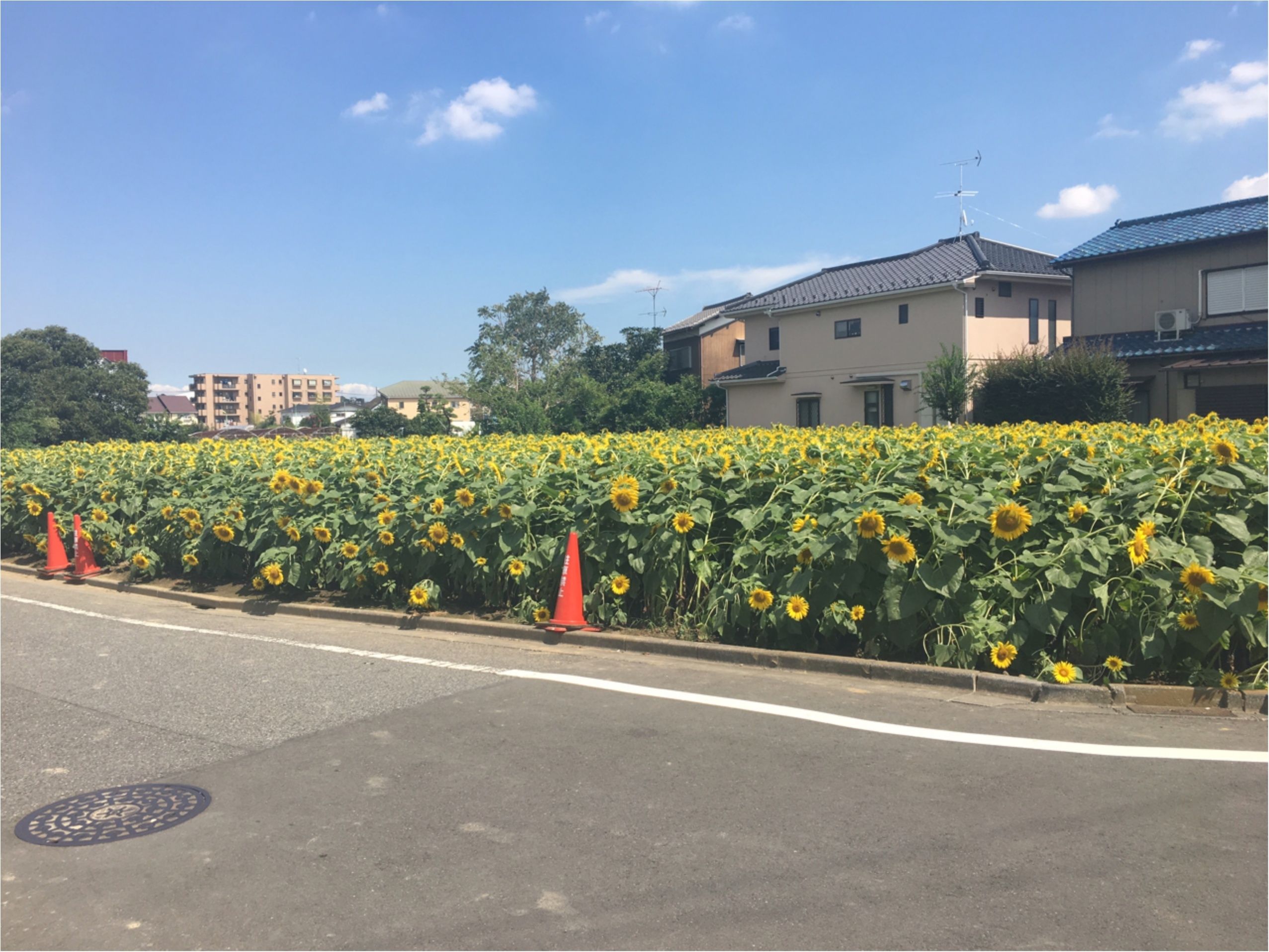 東京・世田谷にひまわり畑があるって知ってた?なんと2万本ものひまわりが!_3