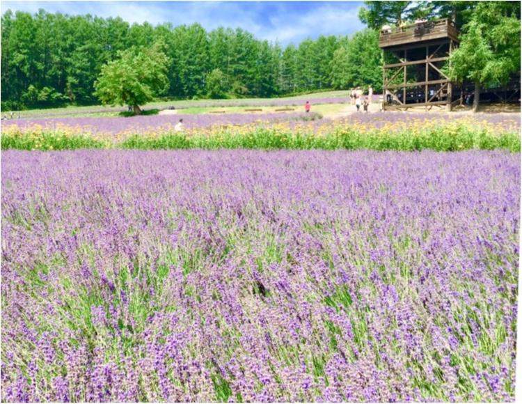 北海道《ラベンダー畑》で初夏を感じて♪花のじゅうたん「ファーム富田」_1