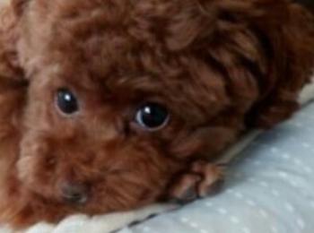 【今日のわんこ】テテちゃんは、パパの枕がお気に入り☆