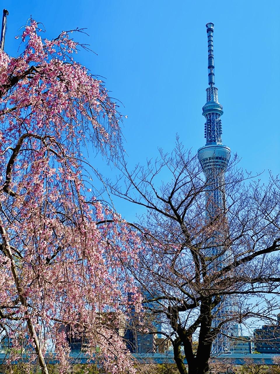 桜の名所・隅田公園はスカイツリーも! サンドイッチが絶品な、葉山のおしゃれカフェ【今週のモアハピ部ライフスタイル人気ランキング】_3
