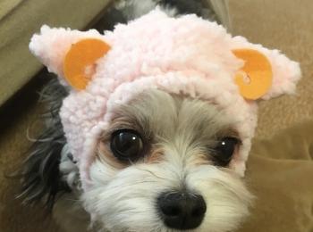 【今日のわんこ】太郎くんが、羊の被り物をつけてみた☆