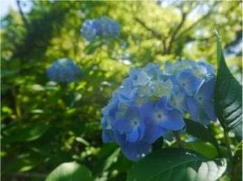 【 しの散歩 】今が見頃 ♪ 鎌倉で《 紫陽花 ( あじさい ) 》を楽しむなら、ここがおすすめ !