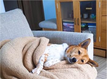 【今日のわんこ】ゆったりまったり♪ 毛布とくつろぐこだまちゃん