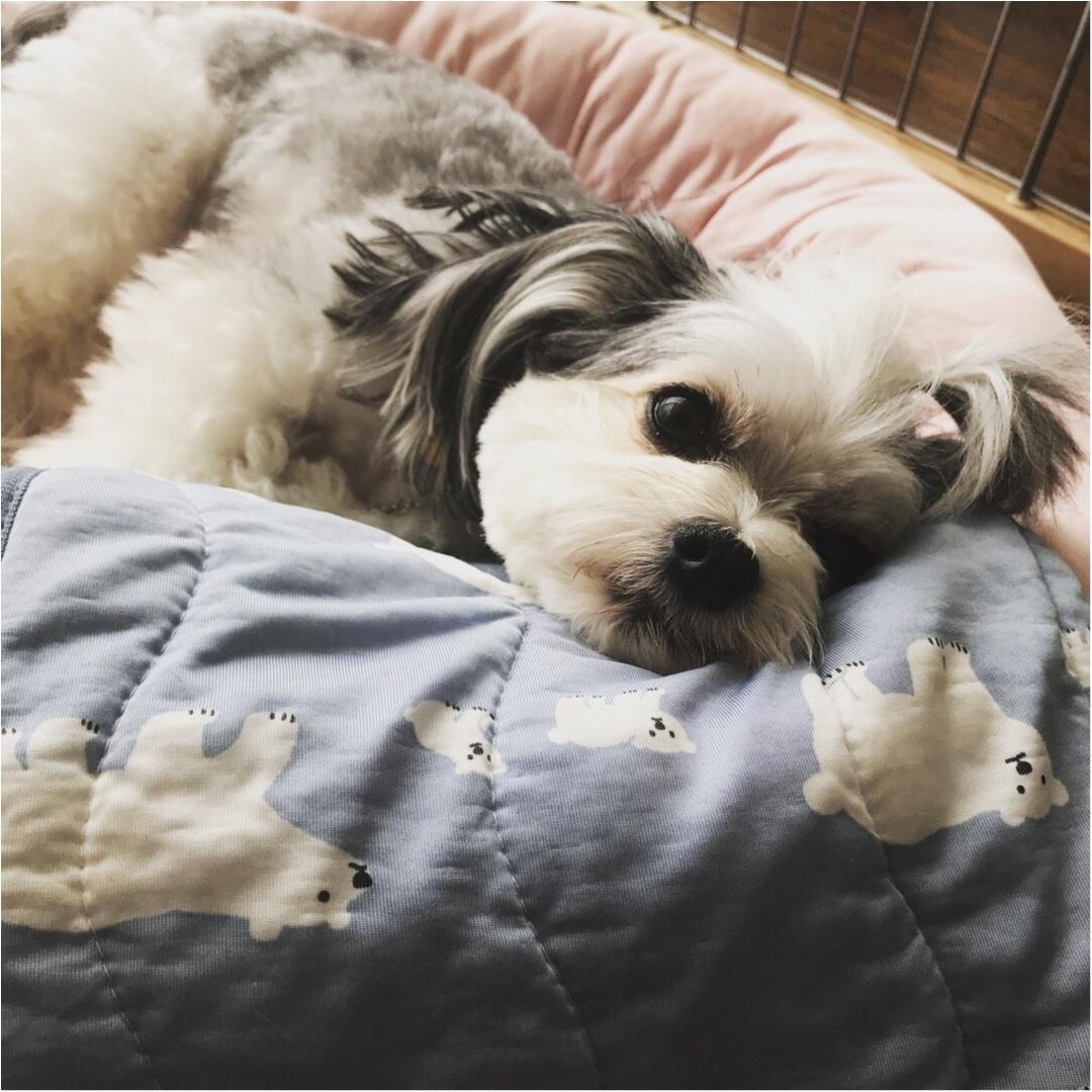 【今日のわんこ】おやすみなさい♡ ねむねむしている太郎くん_1