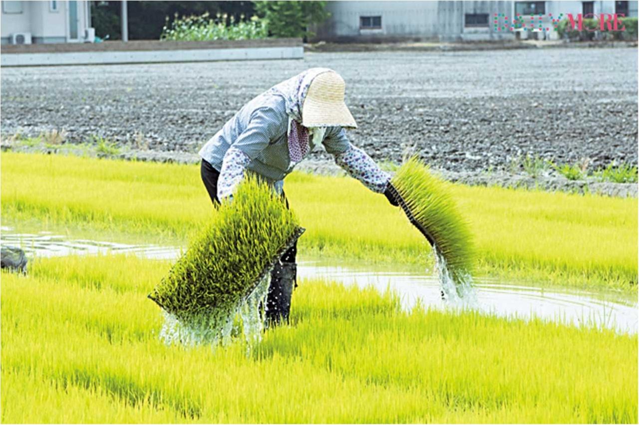 【動画もチェック】 はじめての「田植え」に密着! ひと粒のお米に込める愛情と手間ひま【#モアチャレ 農業女子チャレンジ】_2_1