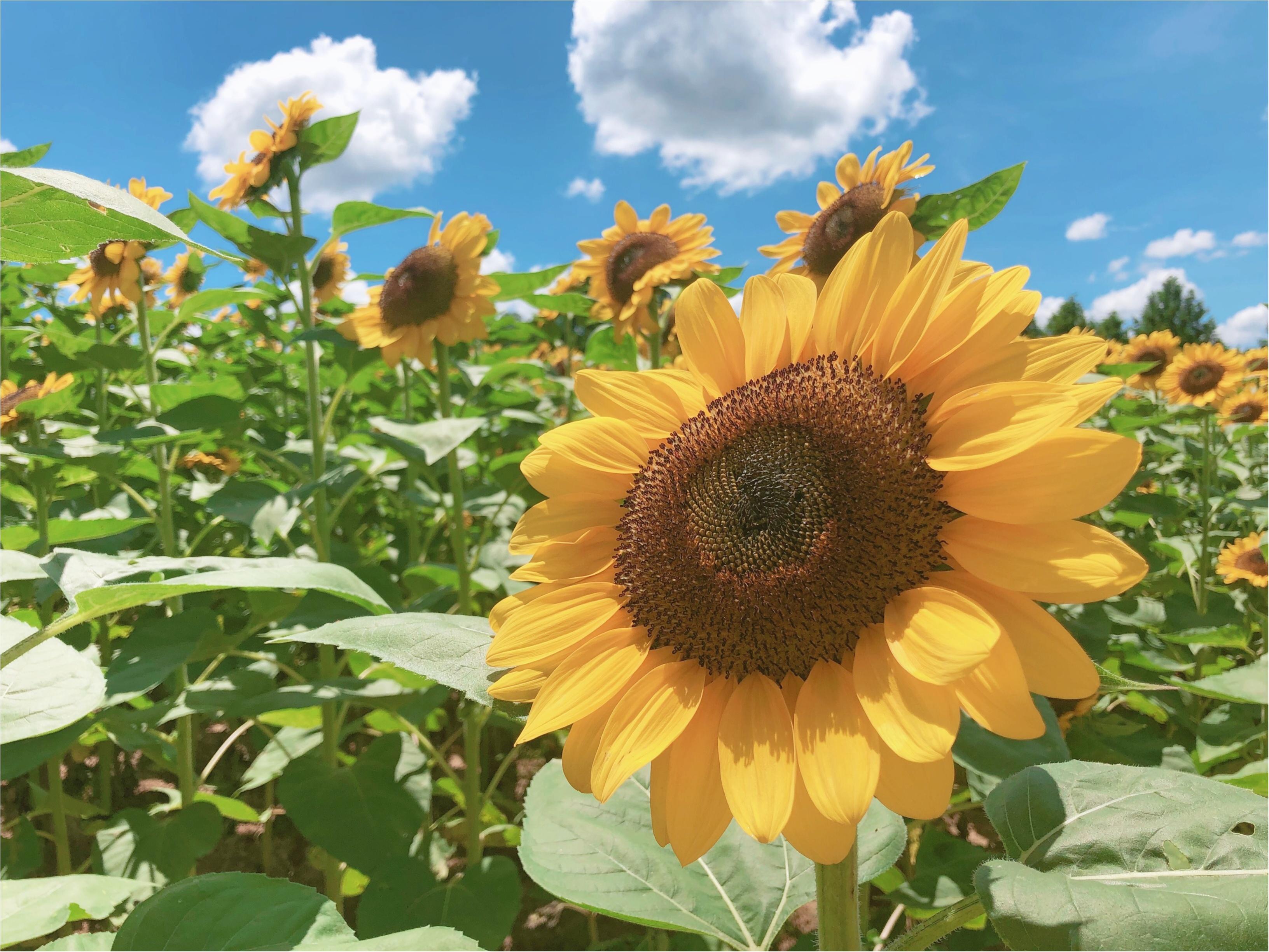 美しい夏の絶景♡ 100万本のひまわりが一面に広がる『ひまわり畑』が見たい♡♡_3