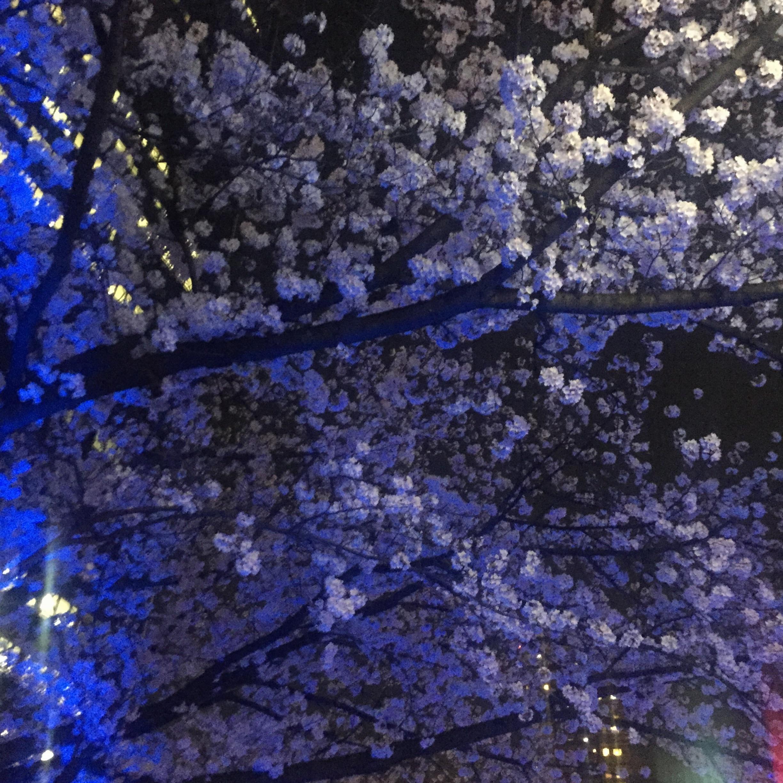 【夜桜見物】大川沿いの桜が満開!川沿いをゆったりお散歩するのがオススメ◎_4