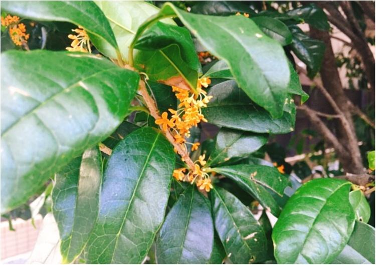 【秋コスメ】金木犀ブームが止まらない!twitterで話題の《生活の木》のアロマオイルで癒しのひとときを♡♡_1