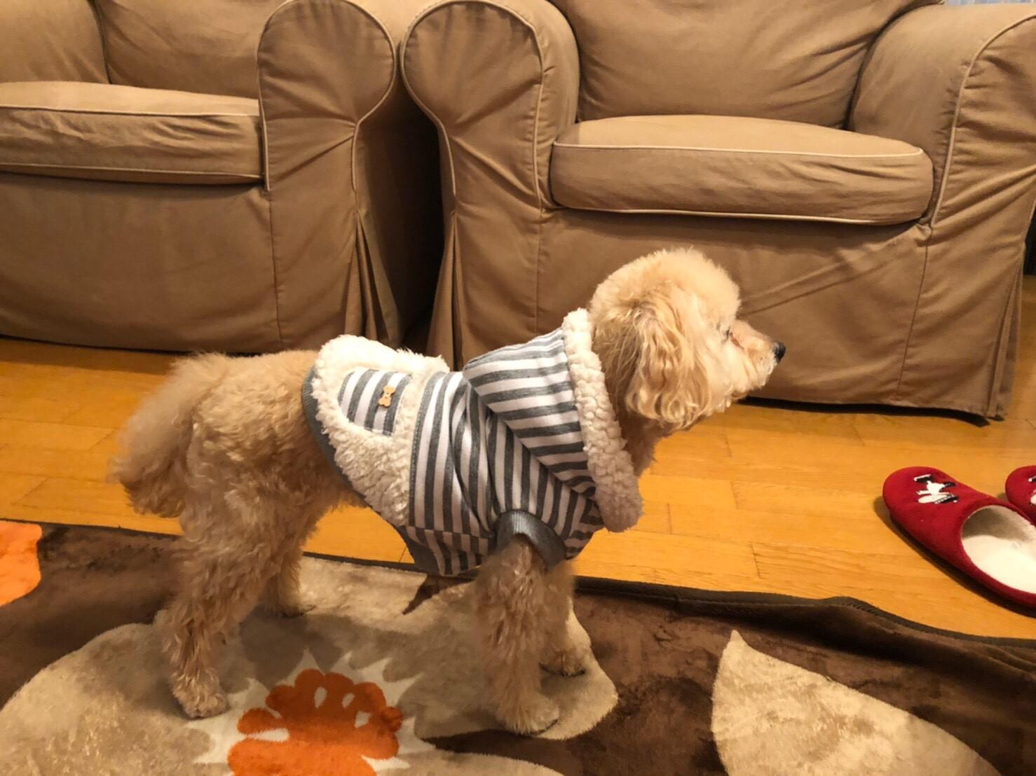 【今日のわんこ】洋服好きなシフォンちゃん。お散歩でもおうちでも!_2