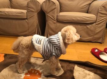 【今日のわんこ】洋服好きなシフォンちゃん。お散歩でもおうちでも!