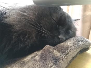 【今日のにゃんこ】癒し度100%! ゆらちゃんの寝顔