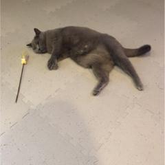 【今日のにゃんこ】日曜日くらいお休みしたい!? ムクくんは猫じゃらしとダラダラ