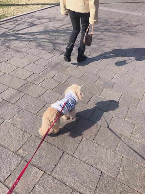 【今日のわんこ】洋服好きなシフォンちゃん。お散歩でもおうちでも!_1