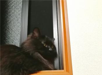【今日のにゃんこ】秋の夜長♡ ゆらちゃんは窓辺でお月見