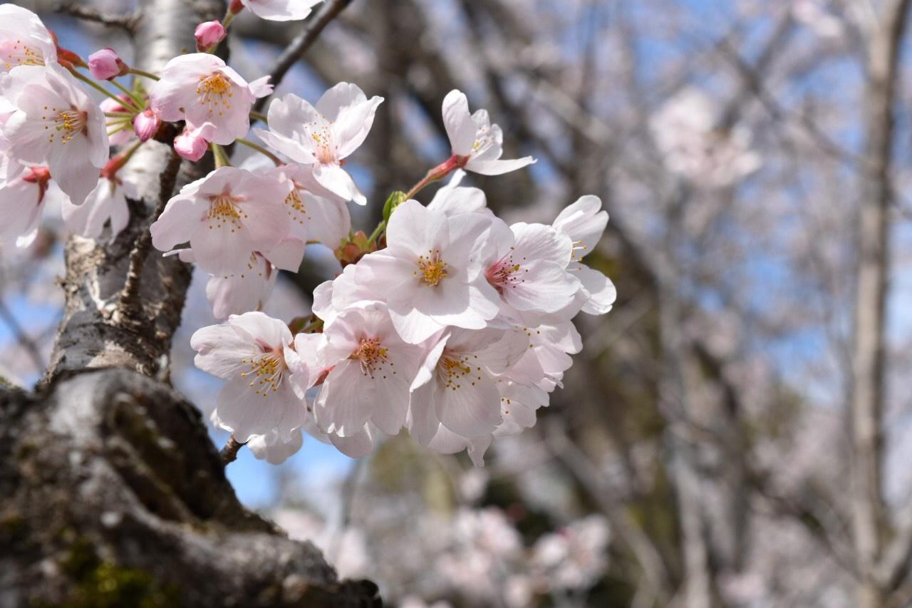佐倉城址公園でお花見♡_2