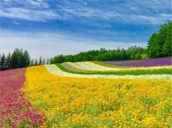 北海道《ラベンダー畑》で初夏を感じて♪花のじゅうたん「ファーム富田」